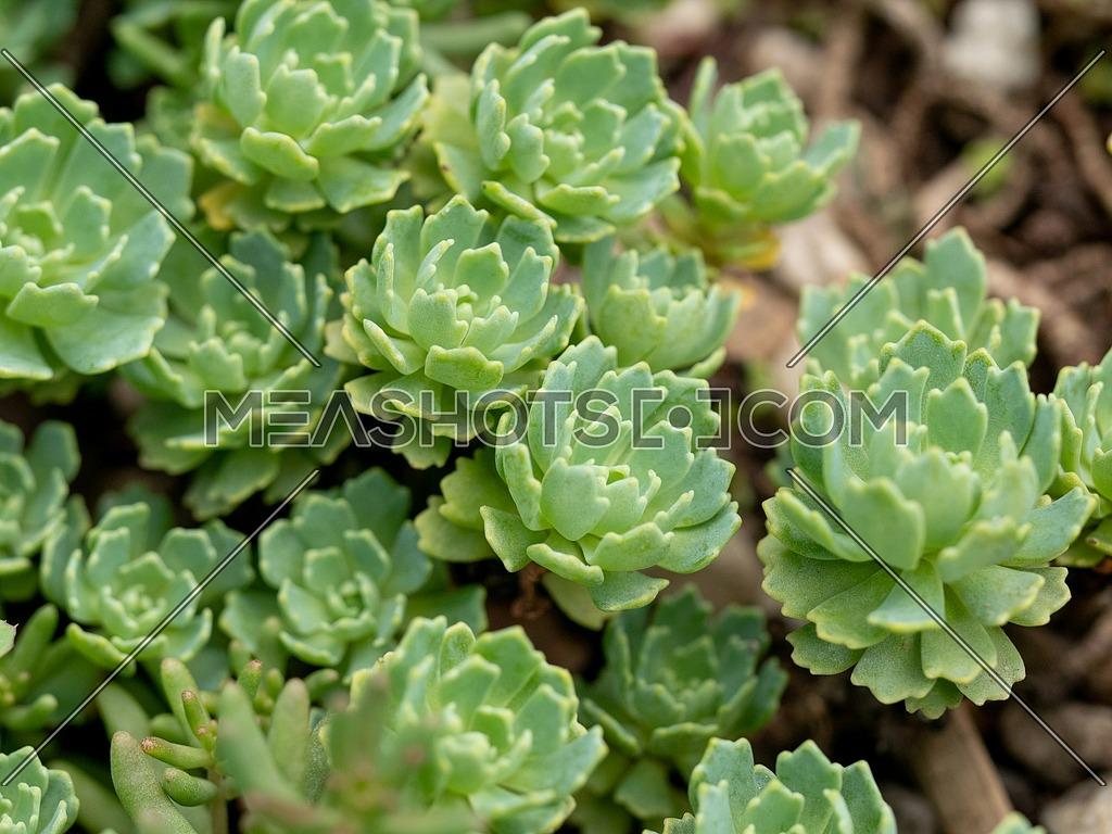 Macro photos of Silver Gem Stonecrop (Rhodiola pachyclados)Note- Selective focus