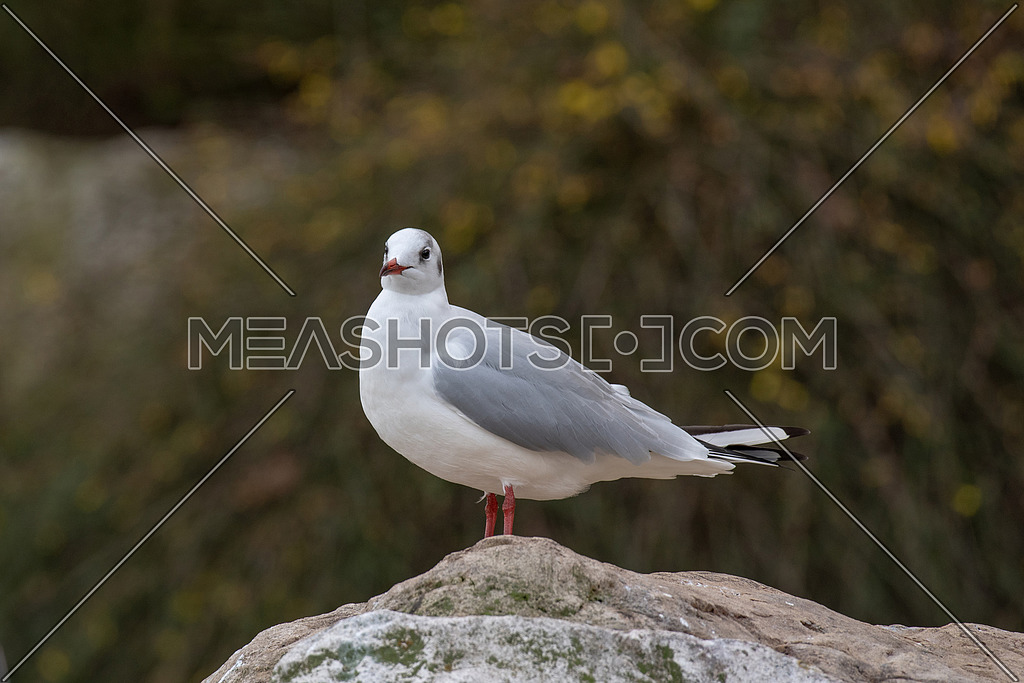 Black-headed gull (Chroicocephalus ridibundus) Wildlife in natural habitat