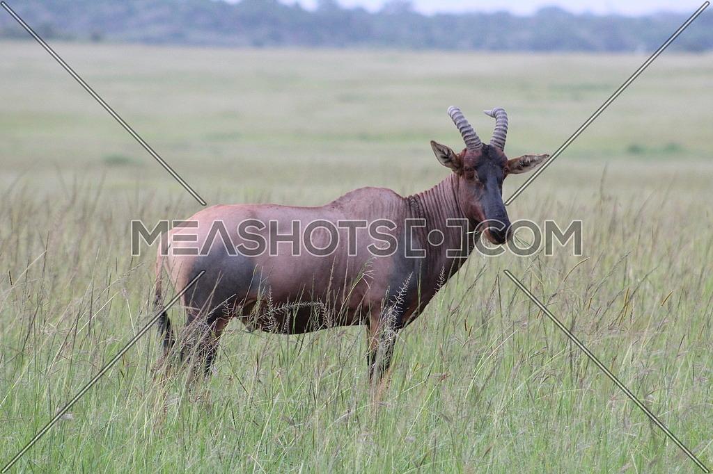 Antelope in Africa
