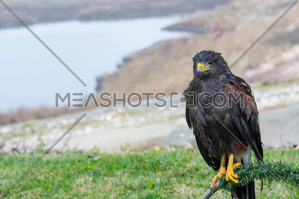 The Harris's hawk , Parabuteo unicinctus, formerly known as the bay-winged hawk or dusky hawk, is a medium-large bird of prey