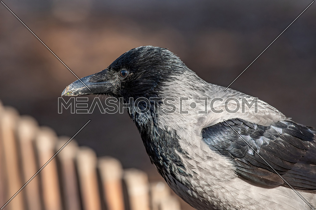 Carrion Crow (Corvus corone) sitting on wooden fence