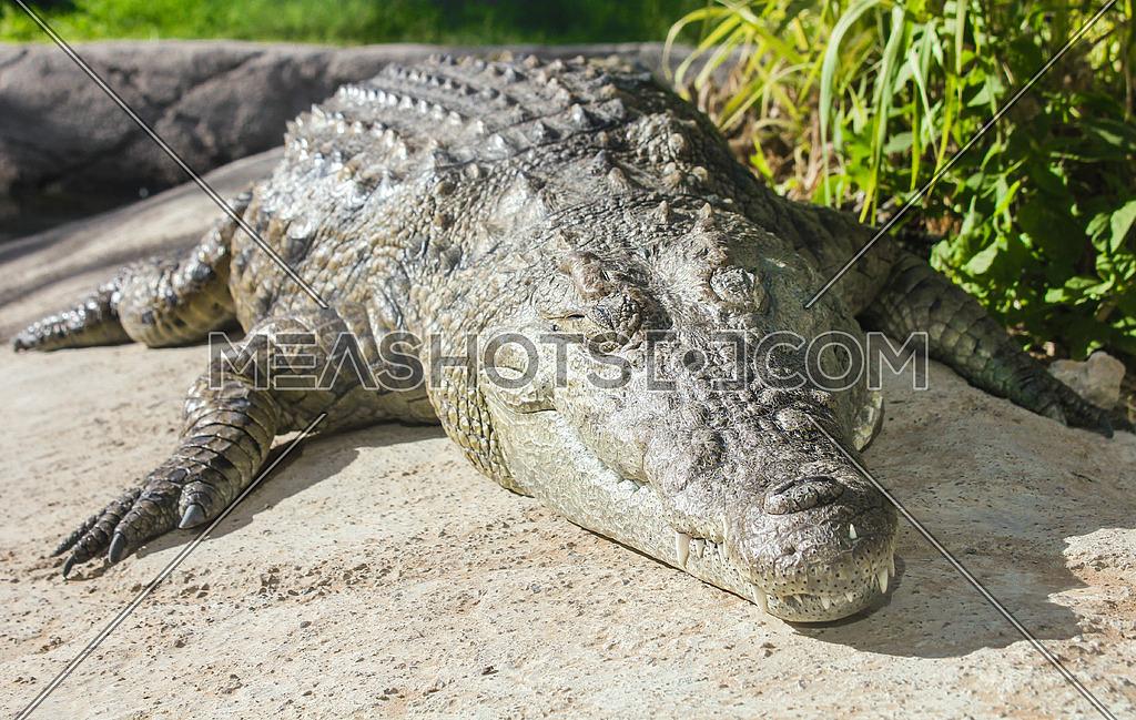 A crocodile on a rock near a swamp