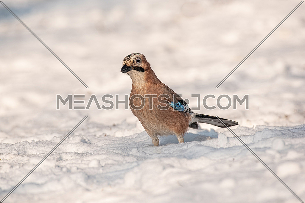 Eurasian Jay - Garrulus glandarius on the snow looks on bread in winter day