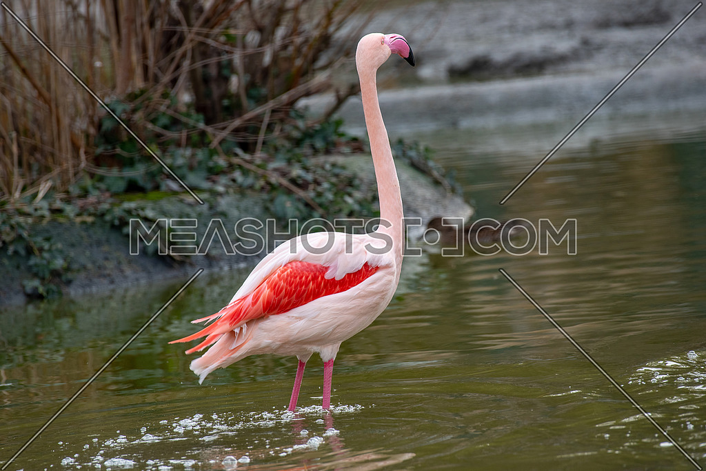 The greater flamingo (Phoenicopterus roseus )is the most widespread species of the flamingo family. It is found in Africa on the Indian subcontinent in the Middle East and  Southern Europe