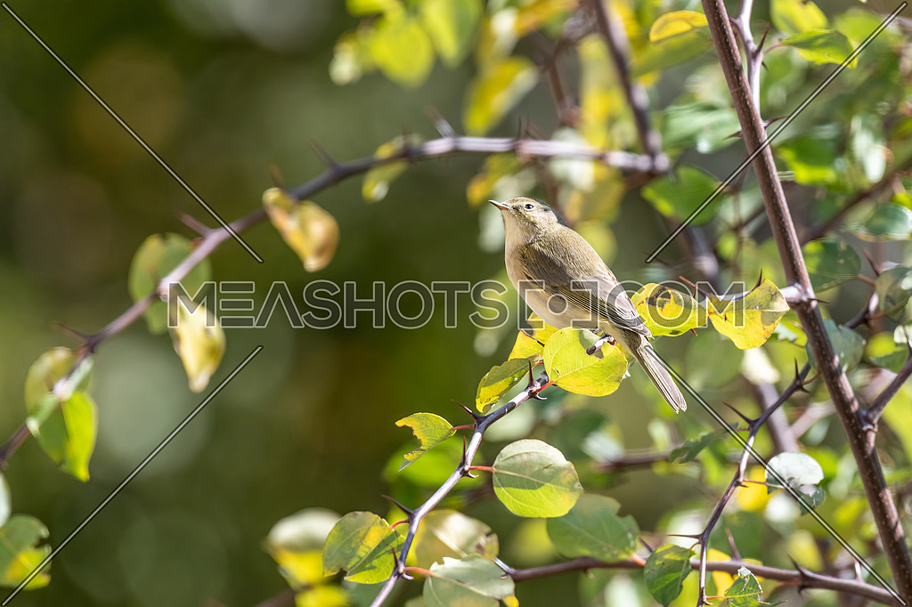 Common chiffchaff (Phylloscopus collybita) on tree in the garden
