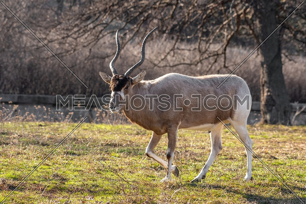 Portrait of Addax (Addax nasomaculatus) also known as the white antelope and the screwhorn antelope, is an antelope of the genus Addax, that lives in the Sahara desert