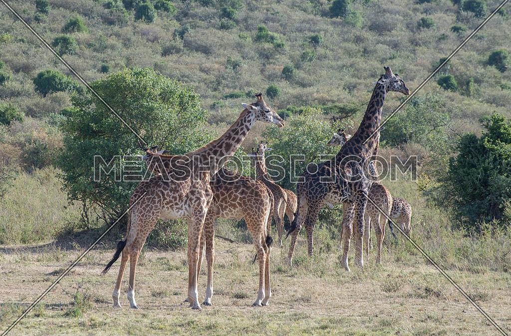 Girrafes in Masai mara national Reserve Kenya