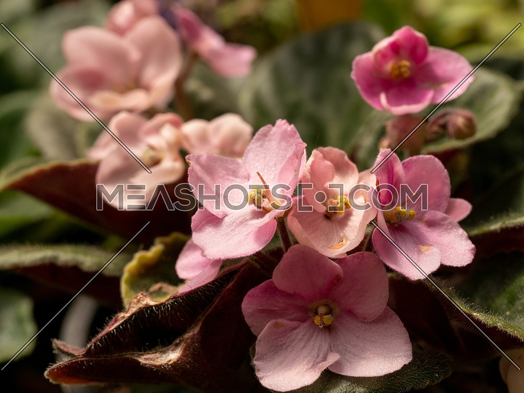 Flowering Saintpaulias commonly known as African violet. ** Note: Shallow depth of field