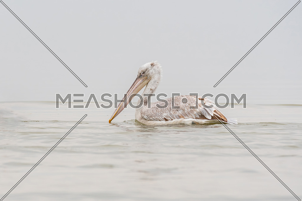 Close-up portrait of Dalmatian pelican (Pelecanus crispus). Large silvery-white bird with curly nape feathers and huge bill with orange pouch.