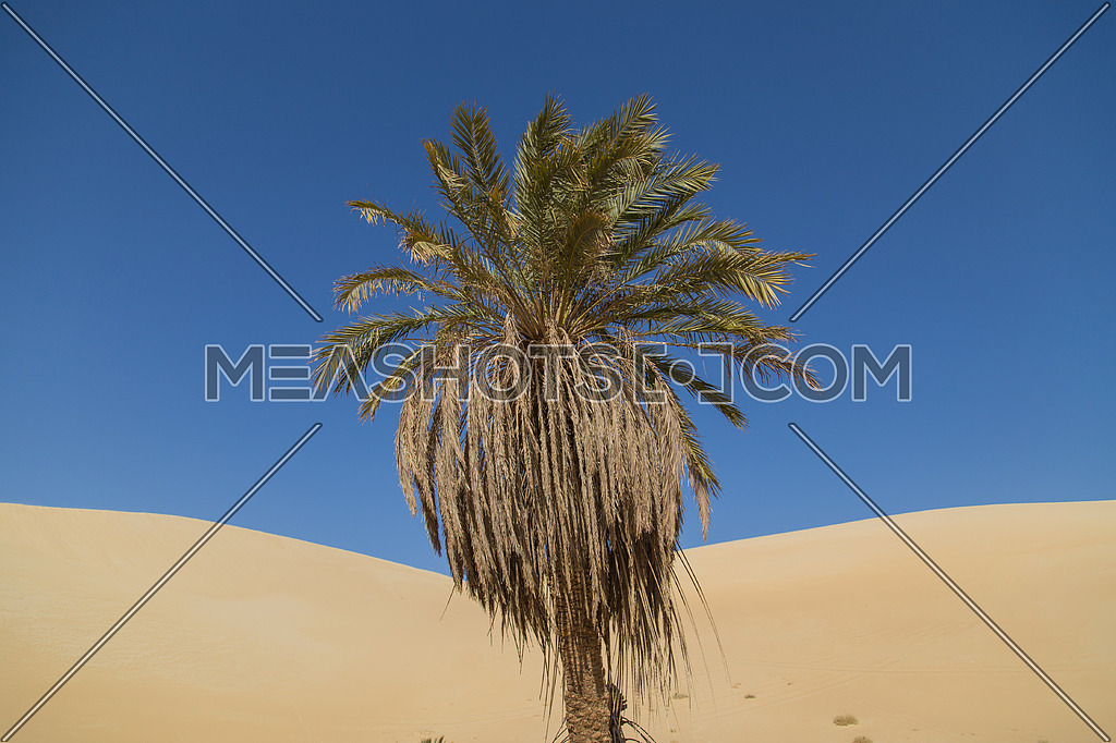 Palm tree in the desert