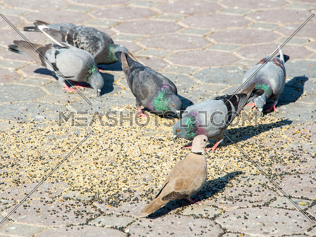 pigeons eating from the ground