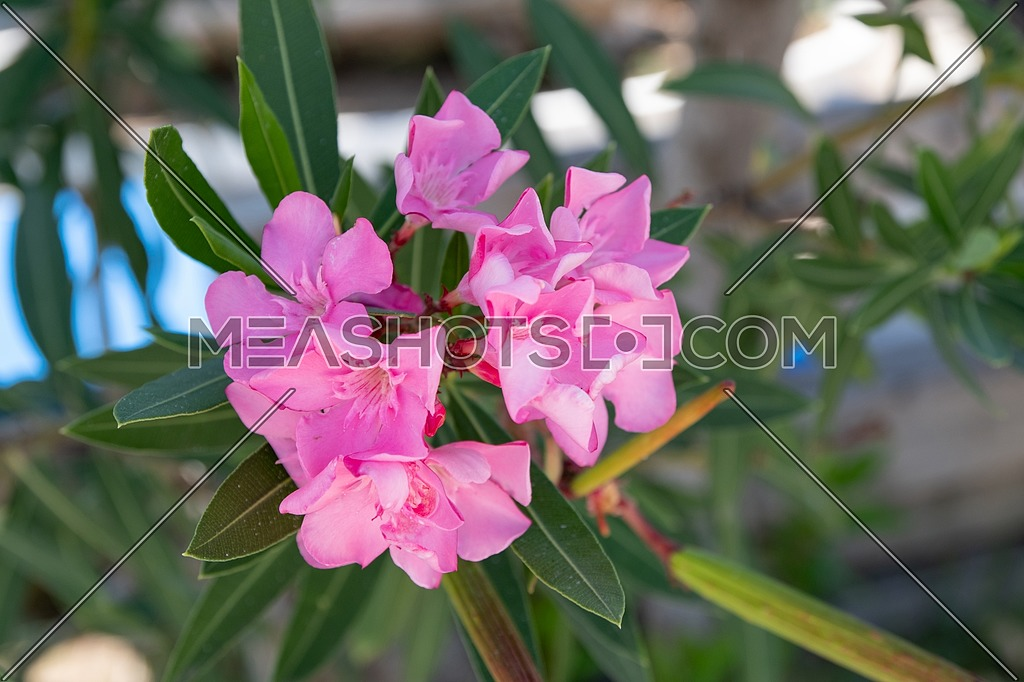 Pink Oleander flowers (Oleander Nerium).Blooming oleander with beautiful pink flowers close up.