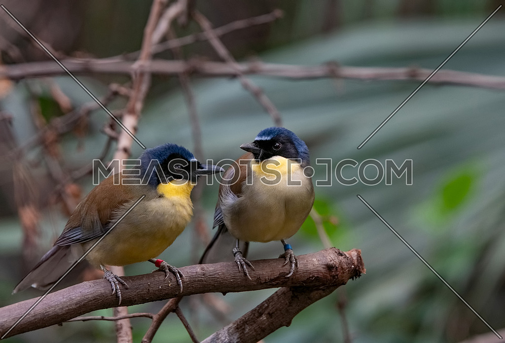 This small songbird, indigenous to Jiangxi, China, is now critically endangered in the wild
