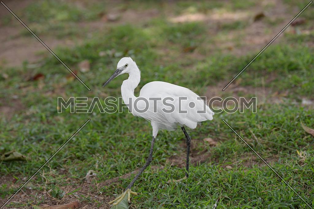 Little white Egret, Egreta garzetta bird