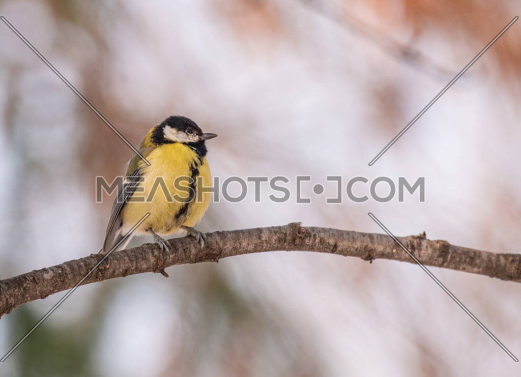 The great tit (Parus major) is a passerine bird in the tit family Paridae