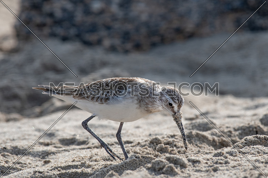 Curlew Sandpiper - Calidris ferruginea during migration in Europe