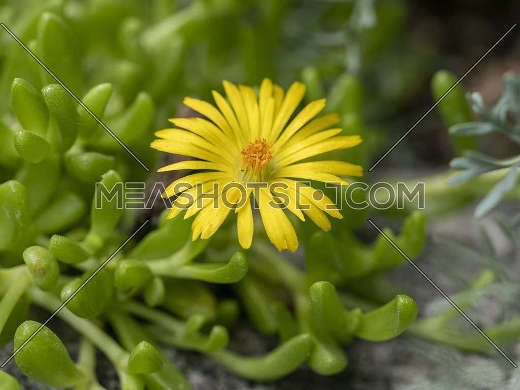 Macro shot of Delosperma nubigenum (Aizoaceae) Note: Shallow depth of field