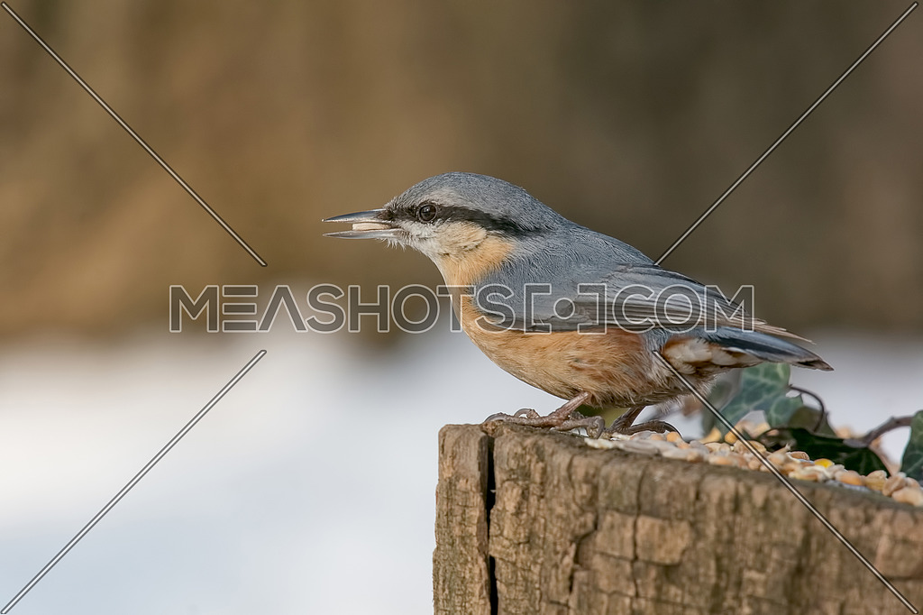 Wood nuthatch (Eurasian nuthatch) taking nuts from bird feeder with copy space