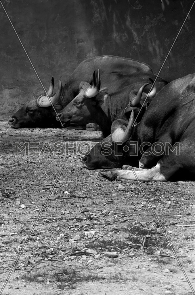 4 Buffalos resting on the ground in black and white