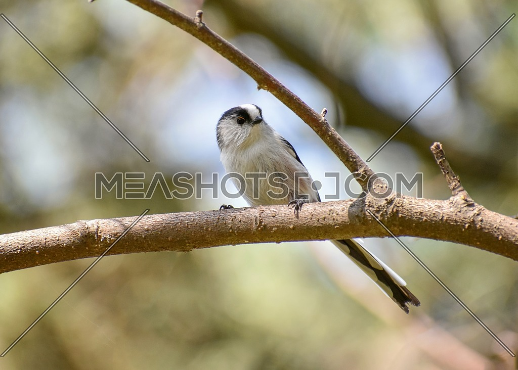 Long tailed Tit - Aegithalos caudatus sitting on the branch.