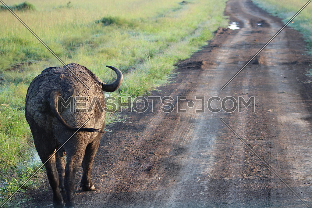 An african buffalo from behind walking on a dirt road in kenya