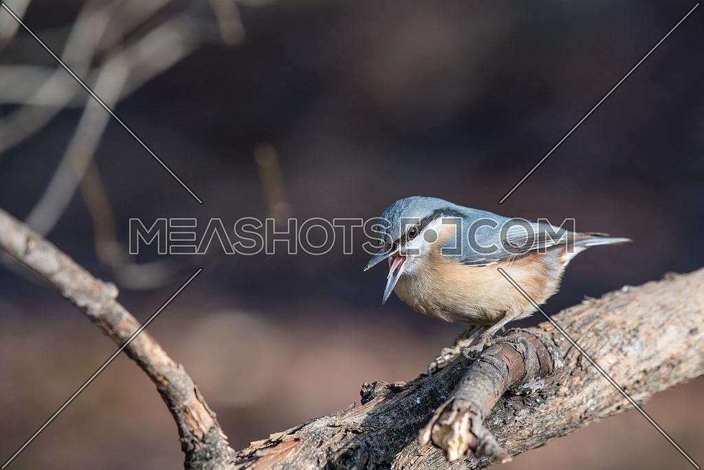 Eurasian Nuthatch Sitta europaea in the autumn, sitting on a tree trunk