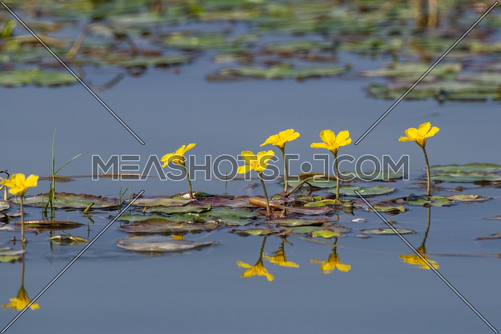 Water lilies (Nymphoides peltata) on the river in the summer