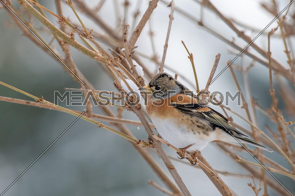 Brambling - Fringilla montifringilla on the branch.Migration in winter
