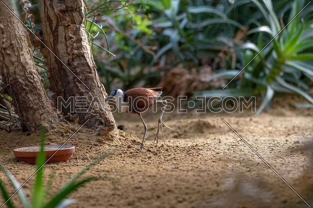 African Jacana bird (Actophilornis africanus) Wildlife photo