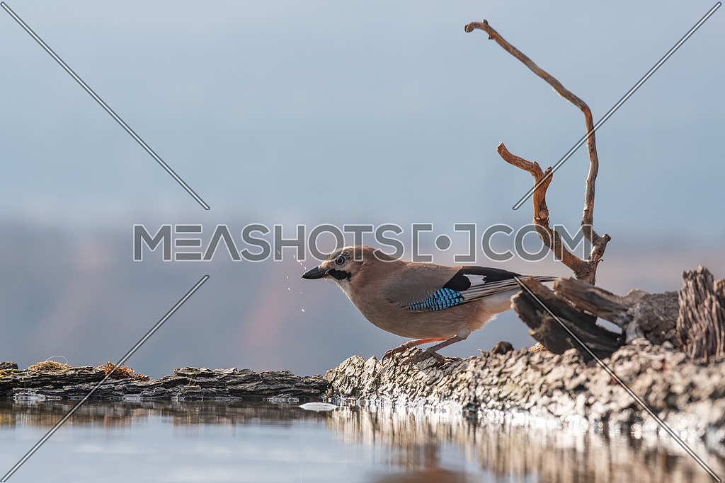 Eurasian jay, Garrulus glandarius, Nature and wild bird image