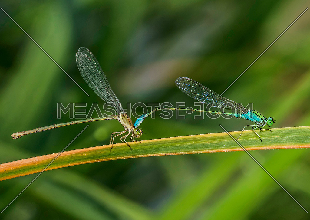 Close up shot for mating damselfly