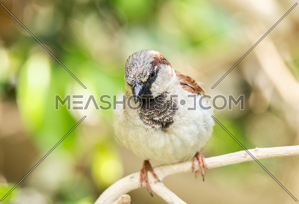 a house Sparrow on a tree branch