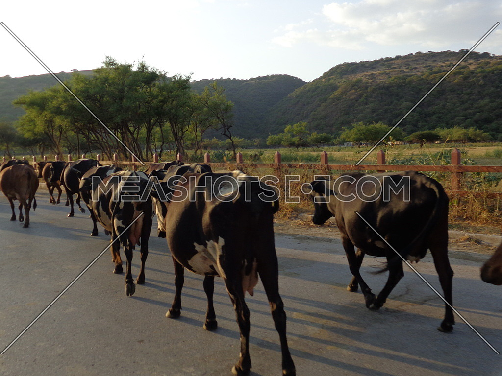 a Herd of cows of cows marching down a paved road