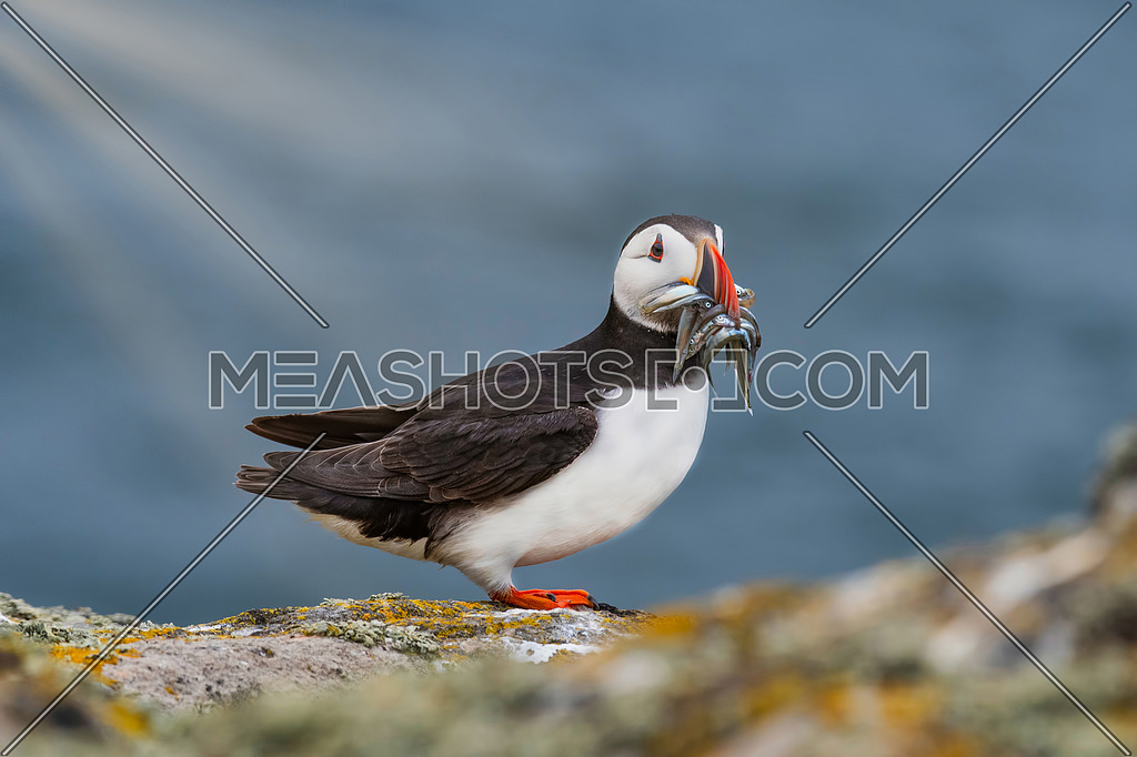 Atlantic Puffin (Fratercula arctica), standing on the cliff at Isle of May