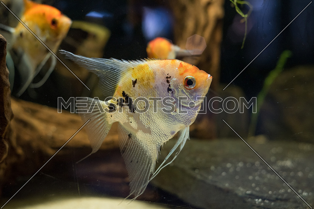 Freshwater angelfish or Marbled Angelfish that has a black white and yellow marbled pattern. Selective focus