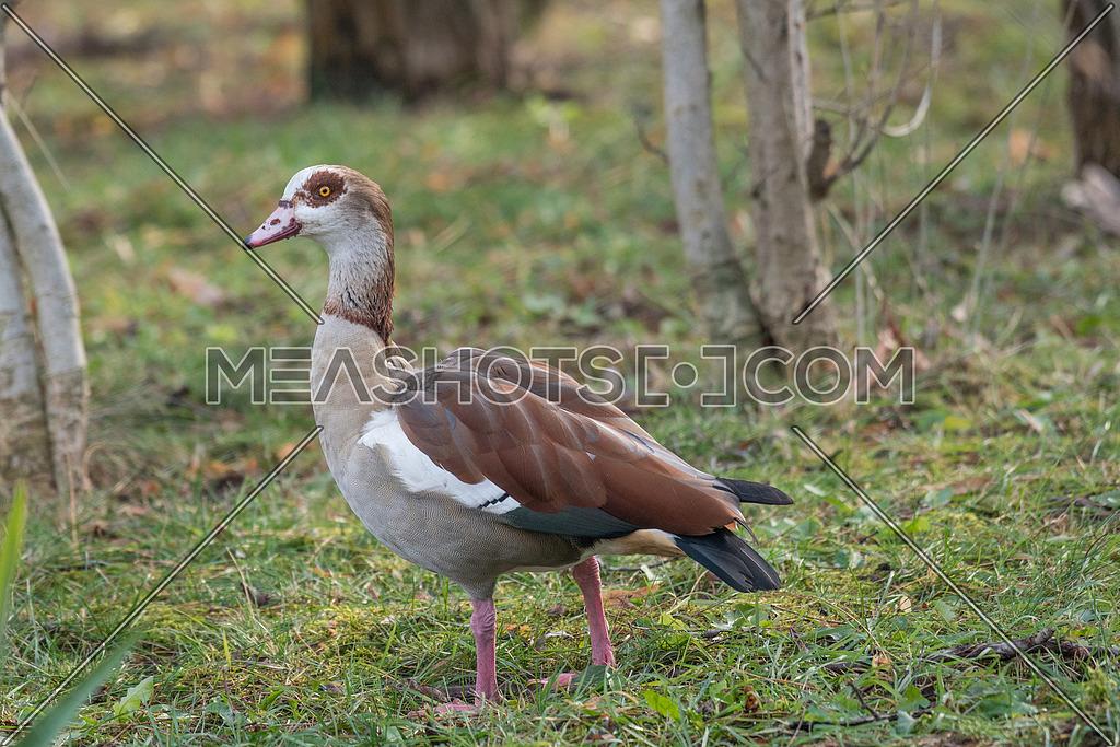 Egyptian goose (Alopochen aegyptiaca) standing on green grass