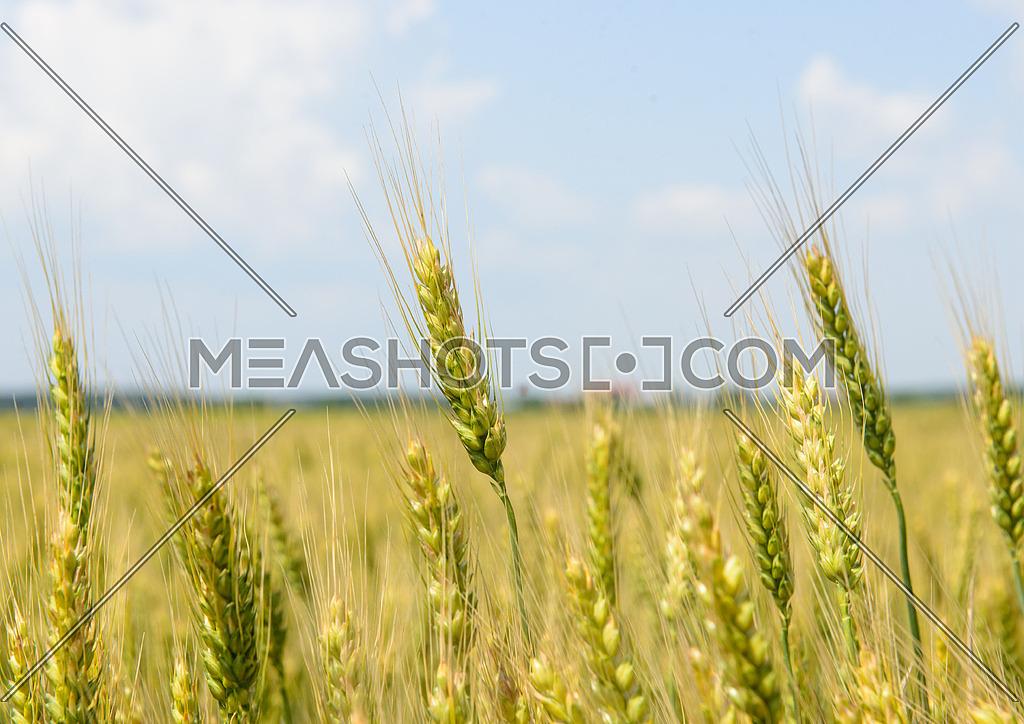 Wheat Field shot in Romania