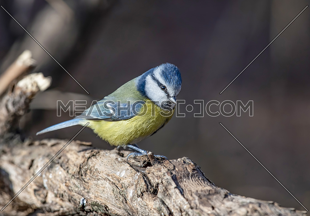 Eurasian blue tit (Cyanistes caeruleus or Parus caeruleus) sitting on a branch with a blurred background