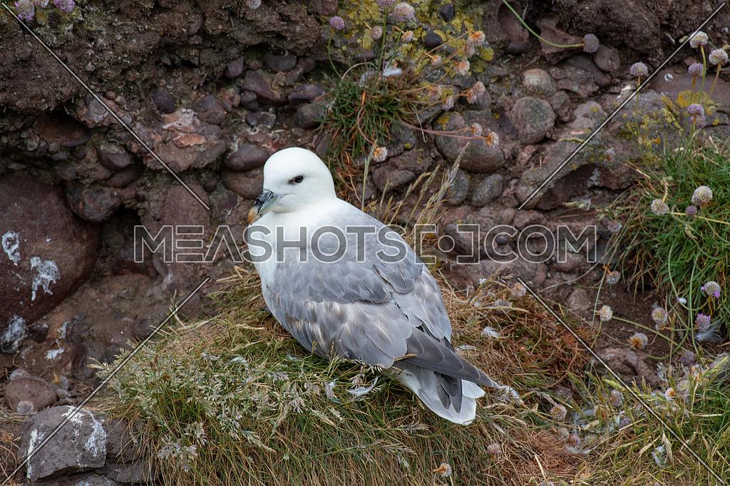 Nesting Fulmar (Fulmarus glacialis).Sea birds