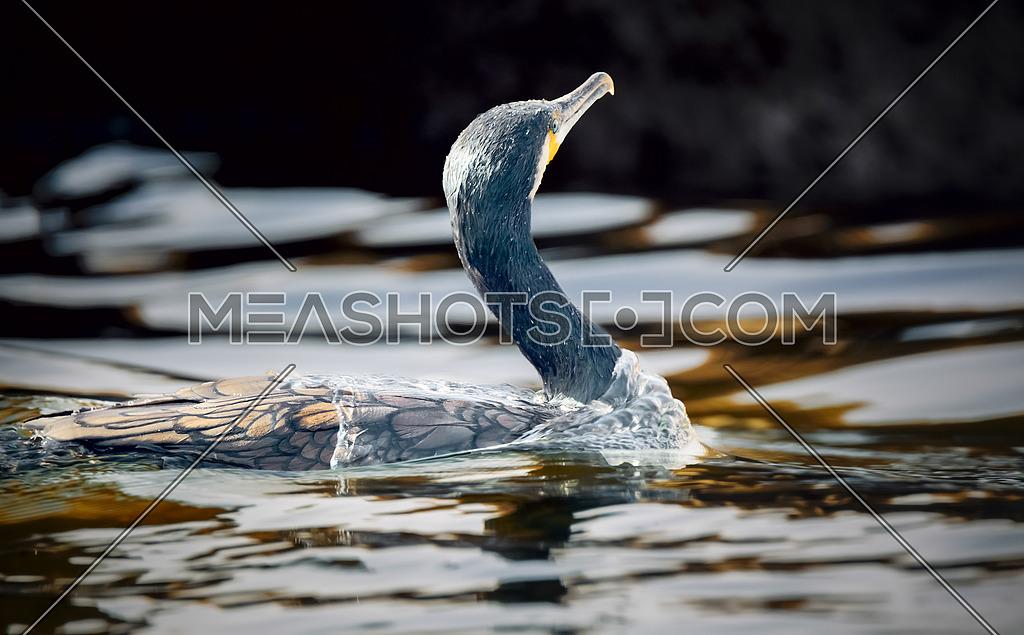 Great Cormorant Bird in water