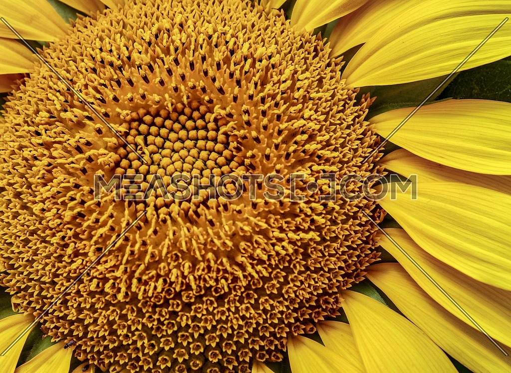 Sunflower with pollen and bright yellow leaves Macro view of sunflower in bloom.