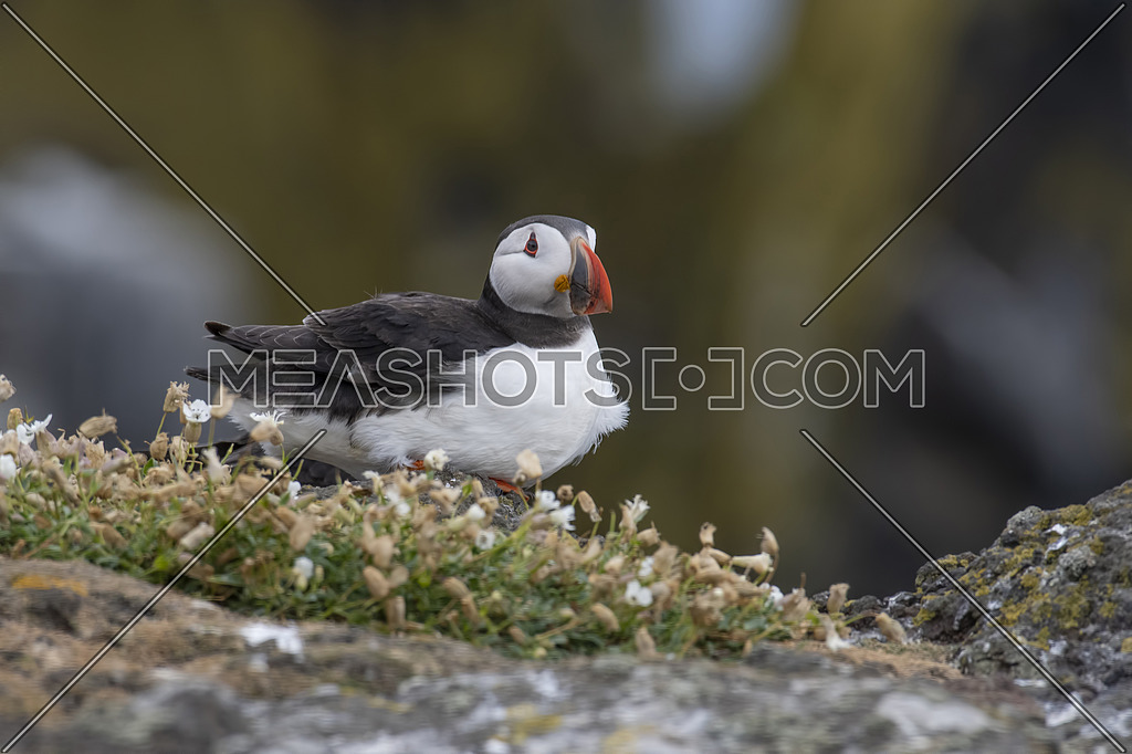 Atlantic Puffin (Fratercula arctica) at isle of May,Scotland