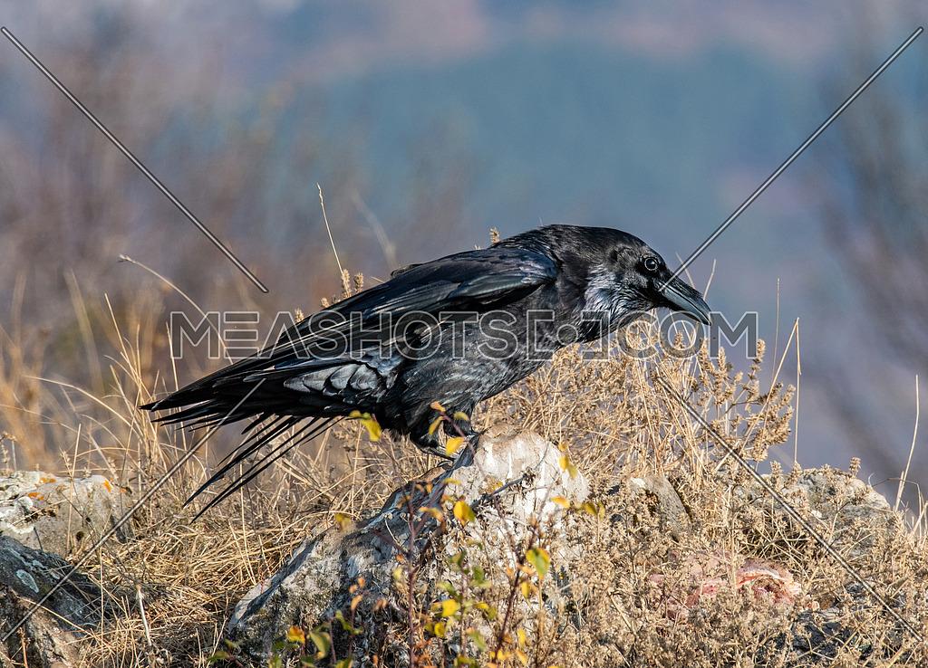 Close-up of a beautiful black Common Raven (Corvus corax). ). Wild animals in natural habitat