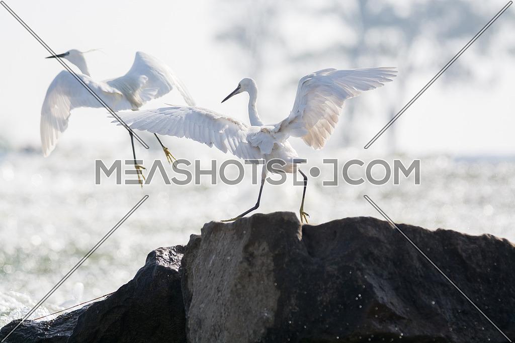 2 Little Egret birds spreading their wings
