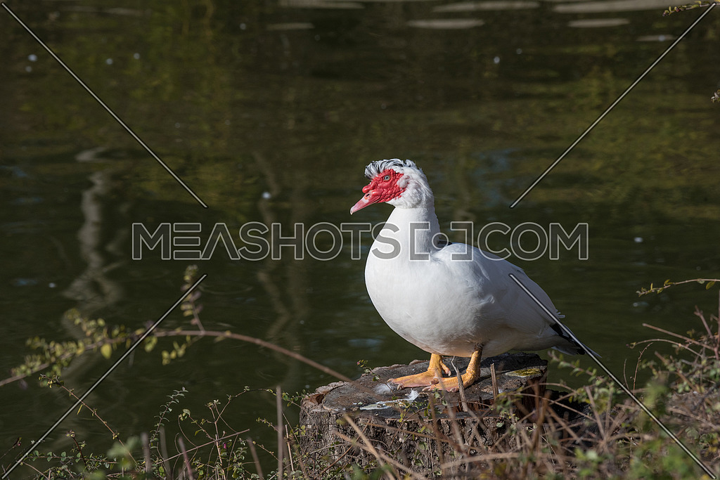 White Muscovy duck portrait Musky duck Indoda Barbary duck with red nasal corals in the public garden