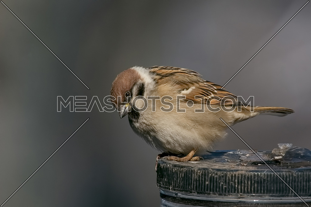 House Sparrow Passer domesticus sitting on feeder