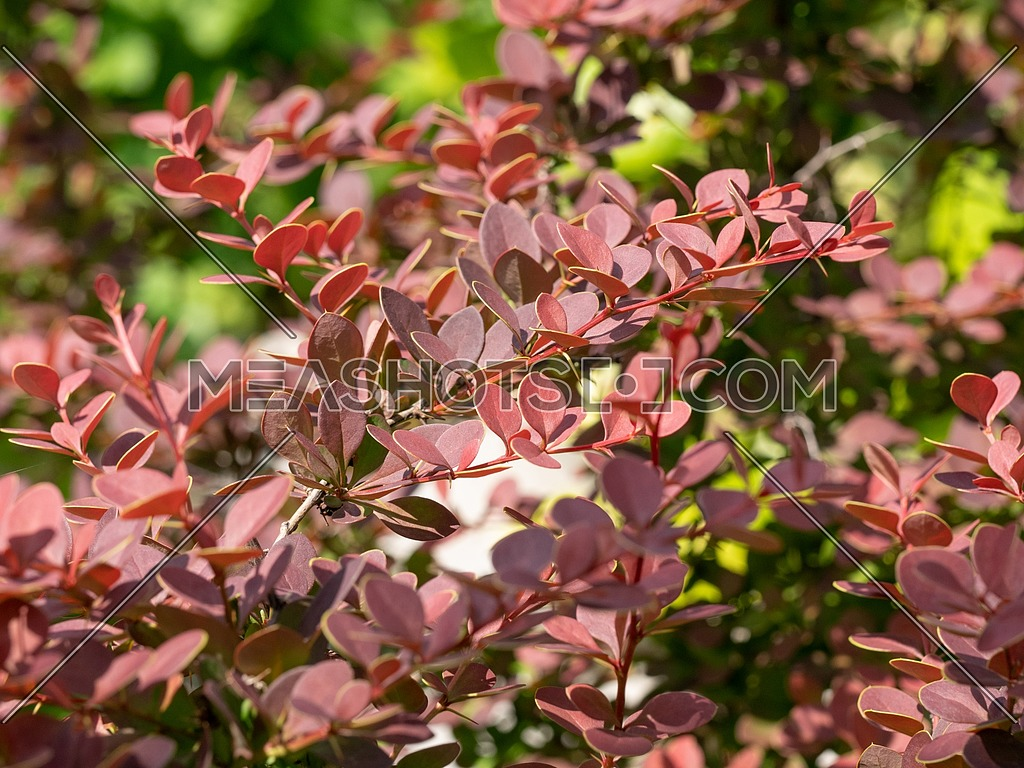 Macro photo of Japanese barberry bush (Berberis thunbergii) ** Note: Shallow depth of field