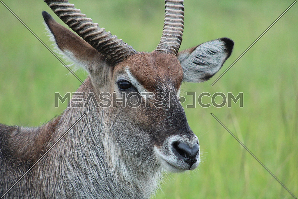 Impala closeup