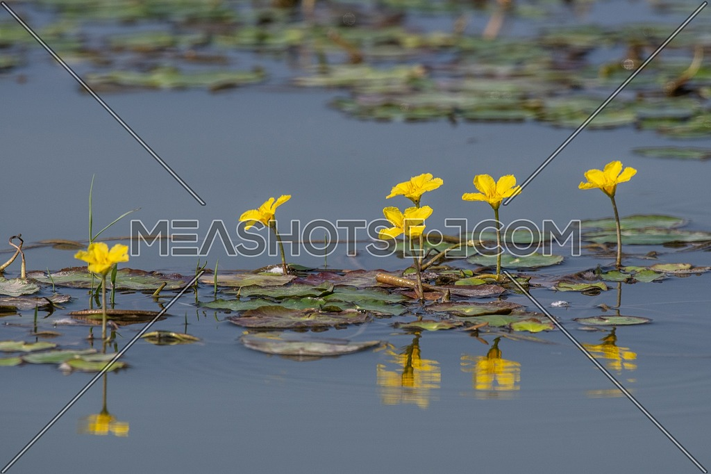 floating heart, fringed,nymphoides, villarsia, water lily, aquatic, background, beautiful, bed, bee, bloom, botanical, city, closeup, ecology, environment, europe, float, floating, flower, fringe, garden, green, heart, insect, leaf, lilly, lily, limnantheme, marsh, marshflower, natural, nymphaeoides, park, peltata, plant, pond, pool, river, spring, summer, town, urban, vegetation, village, water, waterlily, wild, yellow