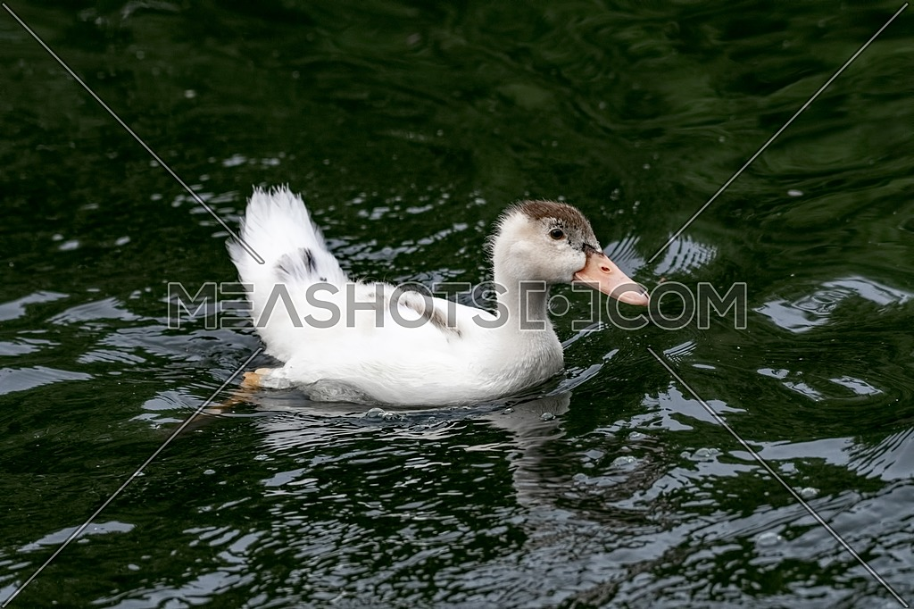 The Ancona duck is a large dual-purpose duck breed that's beautiful, friendly, excellent at foraging, and unfortunately critically endangered.